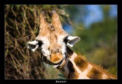 Auch Giraffen können doof schauen