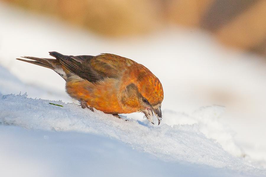 Auch Herr Fichtenkreuzschnabel liebt den Schnee!