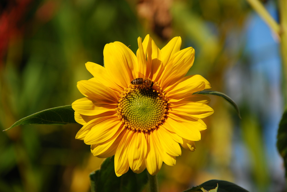 Auch ich möchte euch ein Sonnenblümchen zeigen ;o)