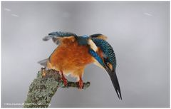-- Auch im dichten Schneetreiben --- ( Alcedo atthis )