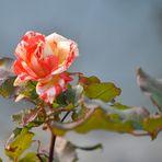 Auch im November blühen Rosen
