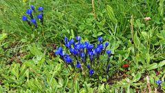 Auch in den Alpen ist Gentiana utriculosa eine Rarität...