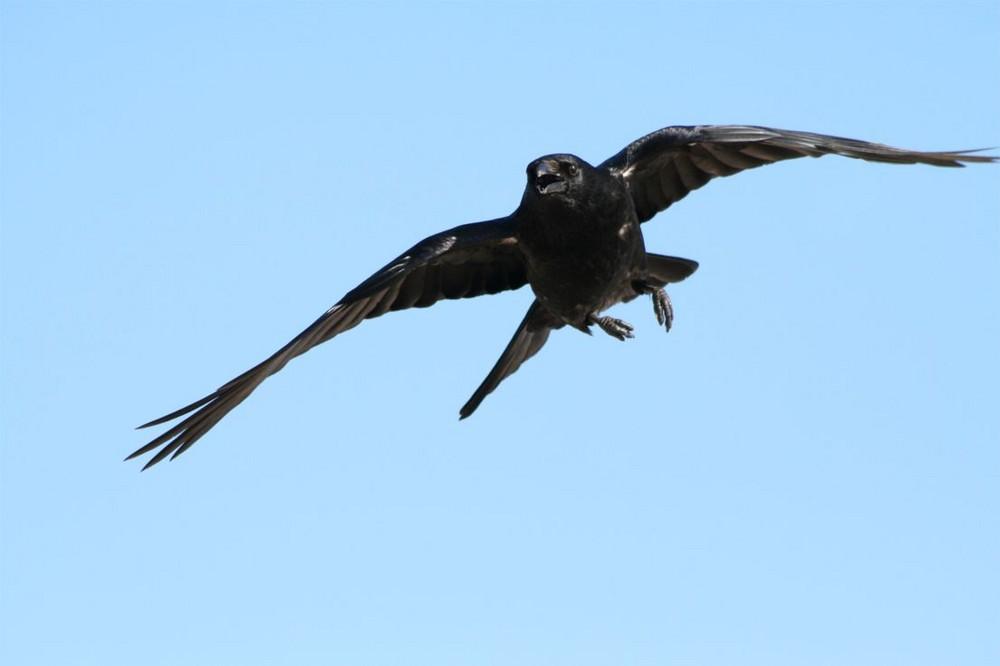 auch Krähen können fliegen....