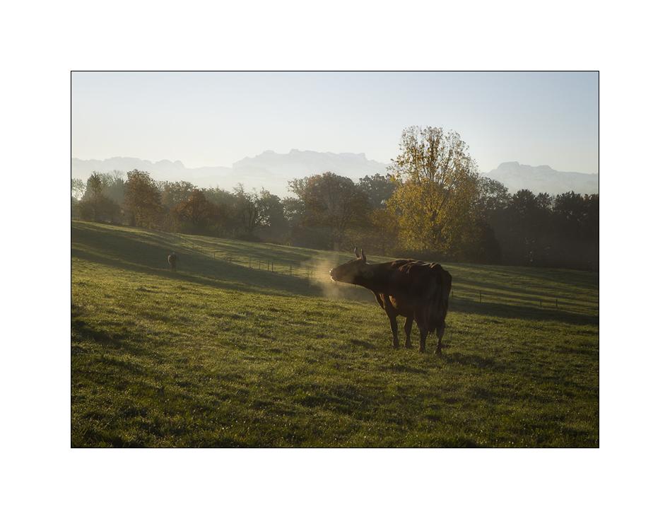 auch Kühe