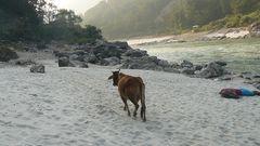 Auch Kühe lieben Strandspaziergänge . . .
