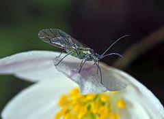 Auch Läuse können einen Sinn für Ästhetik entwickeln! - Un puceron qui aime les fleurs!