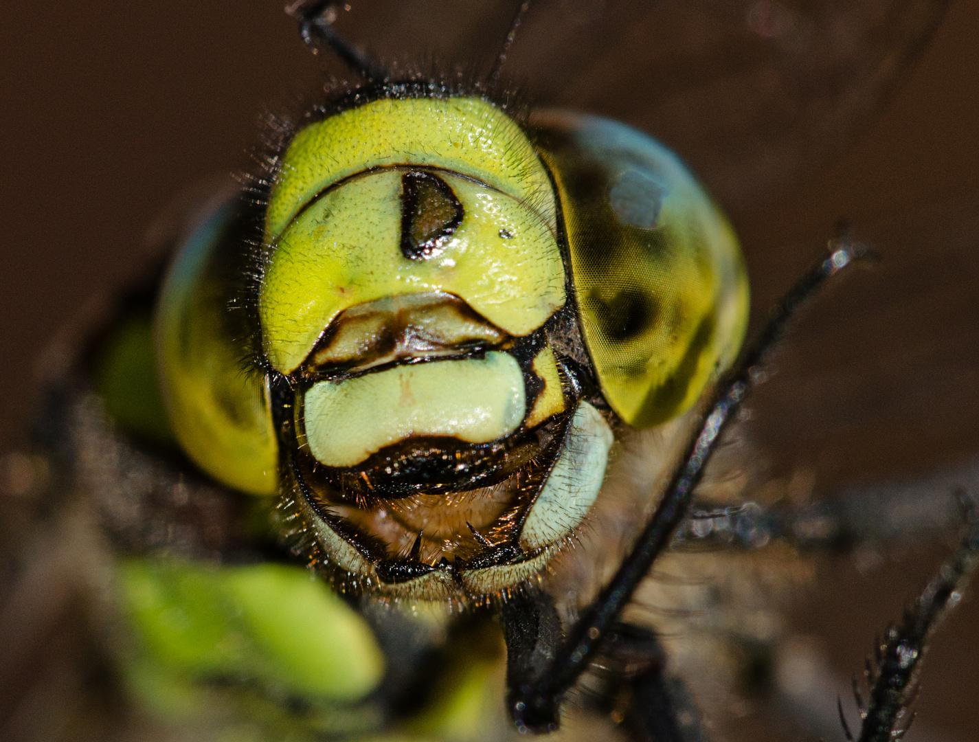 Auch Libellen haben Zähne