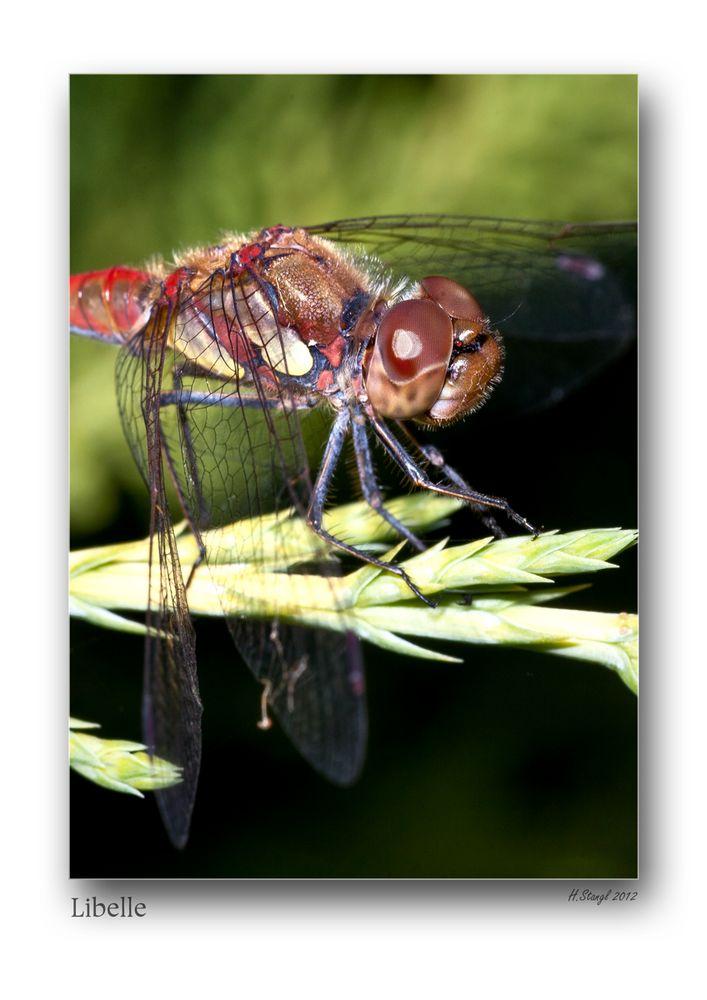 Auch Libellen lassen manchmal die Flügel hängen...