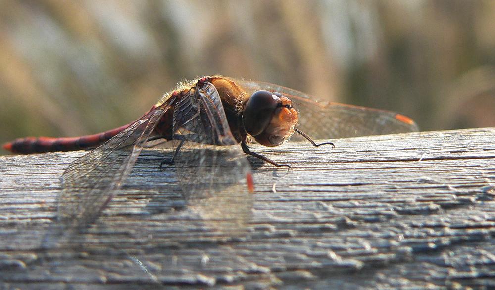auch Libellen wollen leben