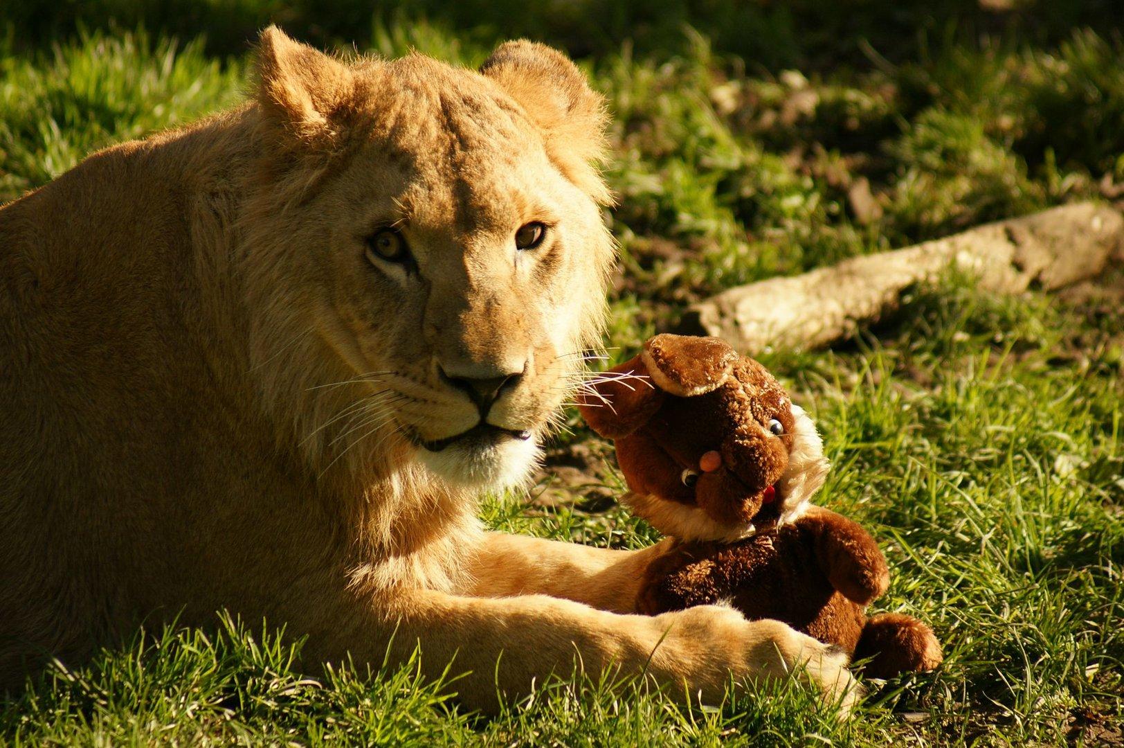 Auch Löwen brauchen ein Kuscheltier
