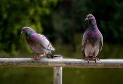 Auch normale Haustauben sind schöne Vögel...