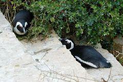 Auch Pinguine können lümmeln...