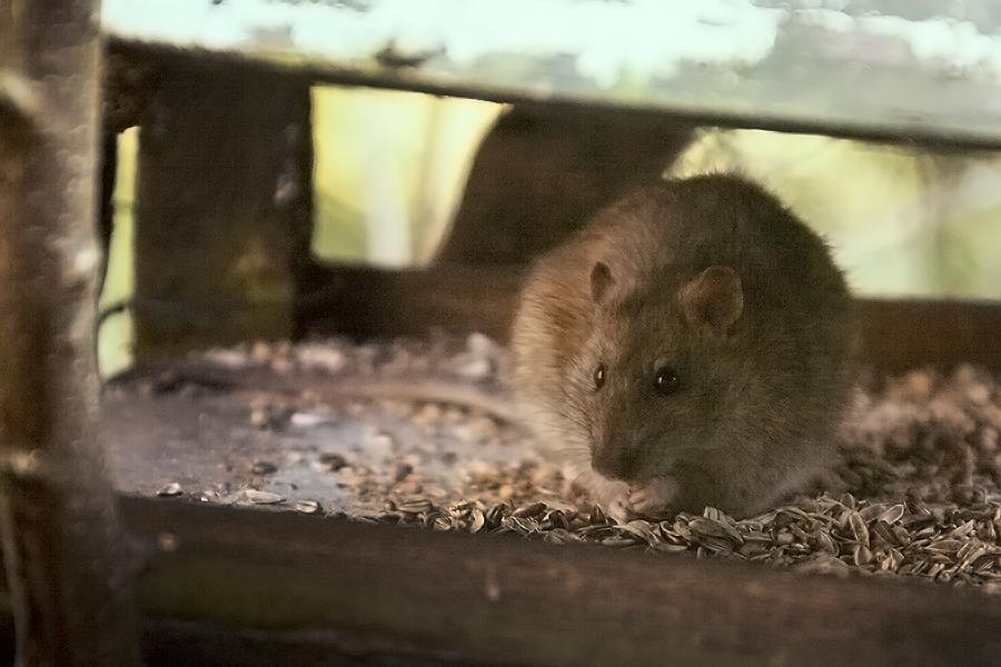 Auch Ratten haben Hunger