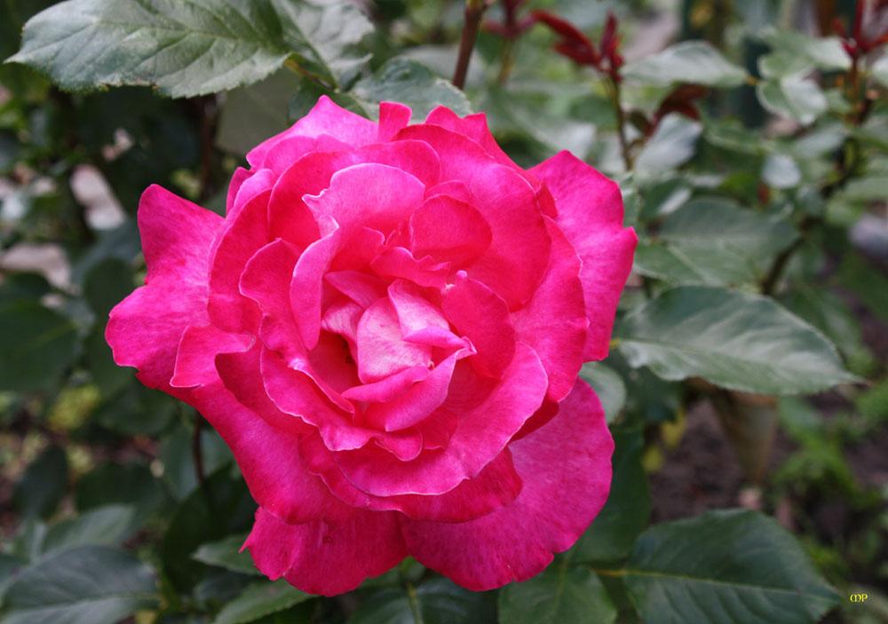 auch Rosenschönheit ist vergänglich