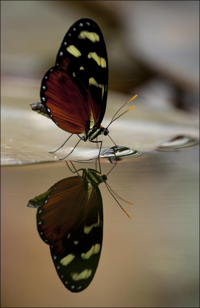 Auch Schmetterlinge haben Durst