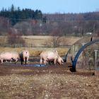 Auch Schweine haben ein Genesungswerk