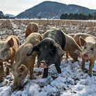 Auch Schweine mögen Schnee!