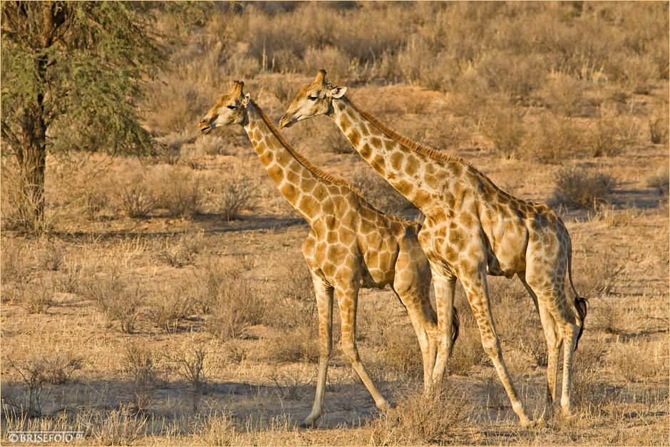 auch sehr sch ne giraffen foto bild africa. Black Bedroom Furniture Sets. Home Design Ideas