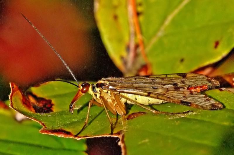 Auch Skorpionsfliegen mögen Oktobersonne.......