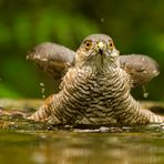 Auch Sperber baden...