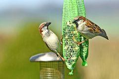 Auch Sperlinge haben Hunger