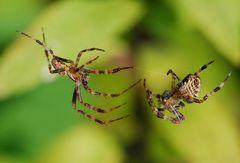 Auch Spinnen brauchen Liebe