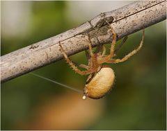 Auch Spinnen müssen mal ..