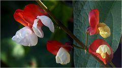 """Auch """"Stangenbohnen"""" haben schöne Blüten"""