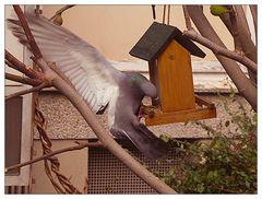 Auch Tauben sind hungrig