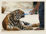 Auch Tiger haben Durst