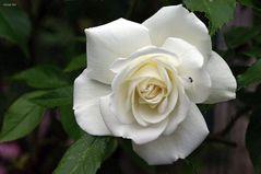 auch weiße Rosen sind sehr edel