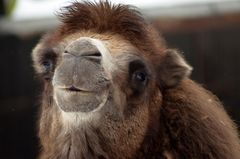 Auch wenn hier viele keine Kamele mögen, ....