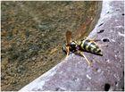 Auch Wespen haben das Bedürfnis zu Trinken ,