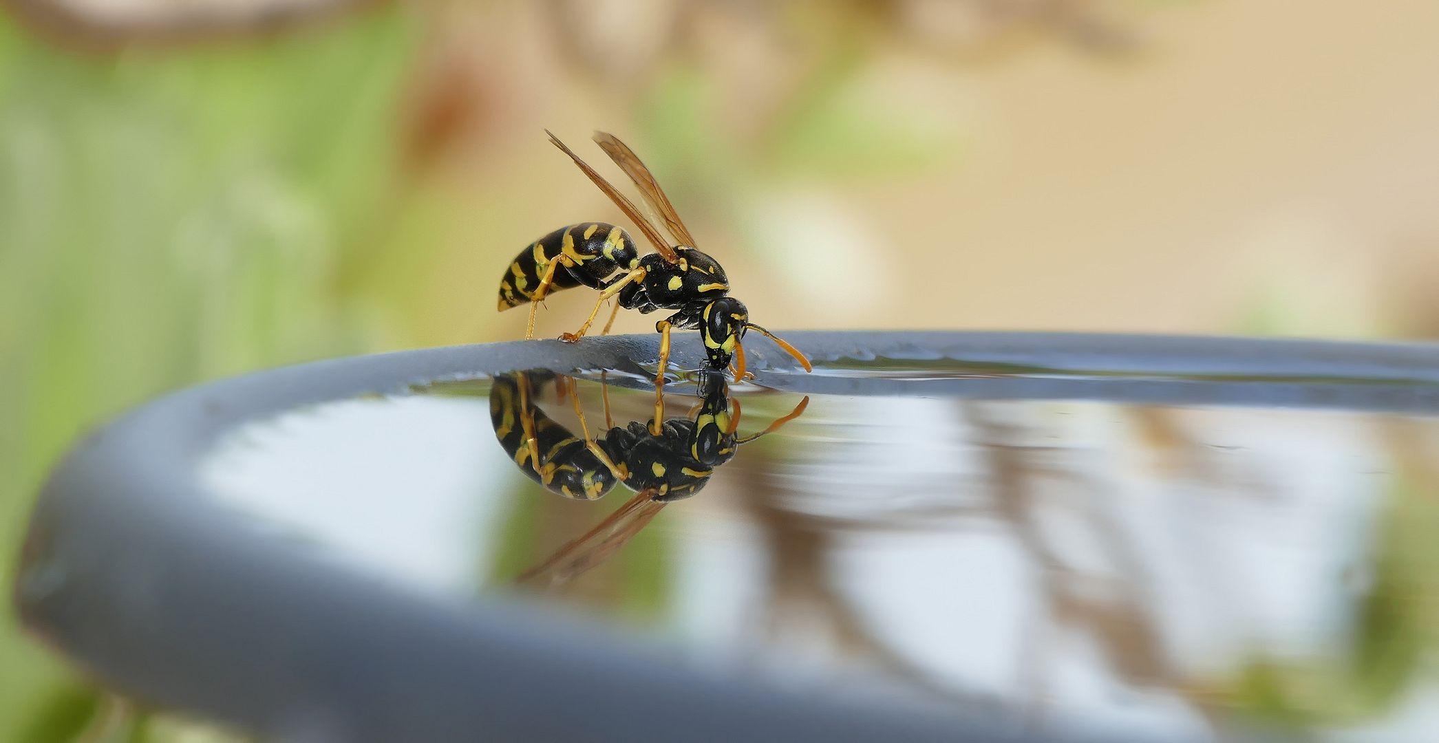 Auch Wespen haben Durst....