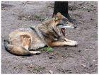 auch Wölfe ermüden...