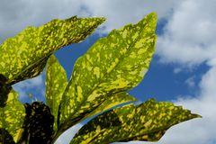 Aucube (Blattunterseite)