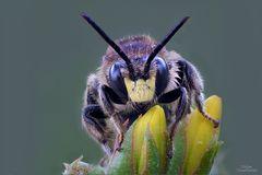 Auenschenkelbiene