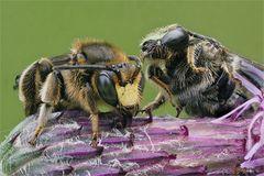 Auenschenkelbienen