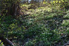 Auenwald mit Märzenbecher