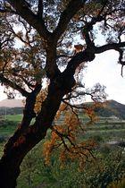 auf 500 Jahren Baum stehe ich....!!!!