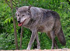 Auf Augenhöhe mit dem Wolf