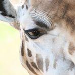 Auf Augenhöhe mit einer Giraffe
