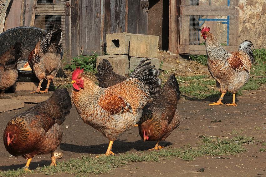 Auf dem Hühnerhof