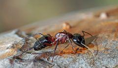 Auf dem Kieferstamm gab es auch etwas Leckeres für Ameisen! - La fourmi trouve son bonheur...!