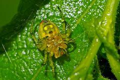 Auf dem Rücken schlafende Spinne bei Dauerregen... - Elle dort pendant une pluie intense...