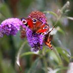 auf dem Schmetterlingsflieder ...