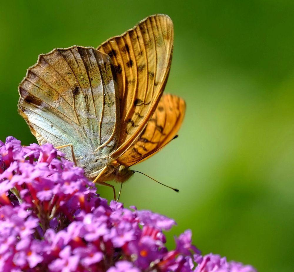 Auf dem Schmetterlingsstrauch