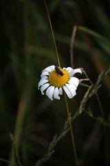 auf den Punkt gelandet, der kleine Käfer