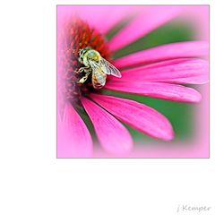 - auf der Echinacea -