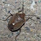 Auf der Mauer lauert ein Föhrengast! (Chlorochroa pinicola) * - Une petite beauté de punaise!